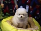 芜湖哪里有宠物狗卖哈多利版球型博美宝宝 可爱至极