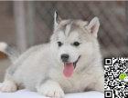出售纯种三火蓝眼哈士奇幼犬 健康品质保证