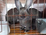 比利時種兔價格 免費防疫 送貨上門,送飼料 簽合同回購成品