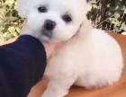 白沙纯种比熊犬价格 白沙哪里能买到纯种比熊幼犬