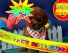 泰迪熊 专业品质 京威名犬 保健康 带血统证