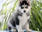 西宁纯种哈士奇价格 西宁哪里能买到纯种哈士奇犬