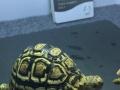 9至10陆龟模具