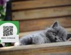 柳州哪里有蓝猫出售 柳州蓝猫价格 蓝猫多少钱