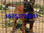 专业马犬犬舍出售纯种马犬幼崽,黑马犬幼崽多少钱一只