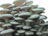 姬菇高密市畅想食用菌种植专业合作社姬菇菌种菌种、食用菌