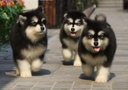 出售纯种阿拉斯加犬 阿拉斯加幼犬 品质好 质量保证