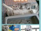 家养纯种健康蓝猫,蓝白,银渐层,金吉拉,加菲猫