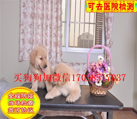 本地出售纯种金毛幼犬 大骨架 大头版 可上门挑选