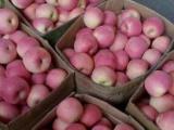 山东红富士苹果直销,山东红富士苹果地头价格