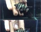 越南银虎 虎鱼