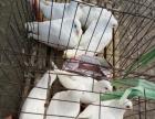 农户养殖元宝鸽出售
