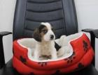 出售纯种精品比格犬活体中型宠物狗狗米格鲁狗比格幼犬赛级血统