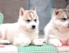 出售纯种双蓝眼三把火哈士奇幼犬,品质健康有保障