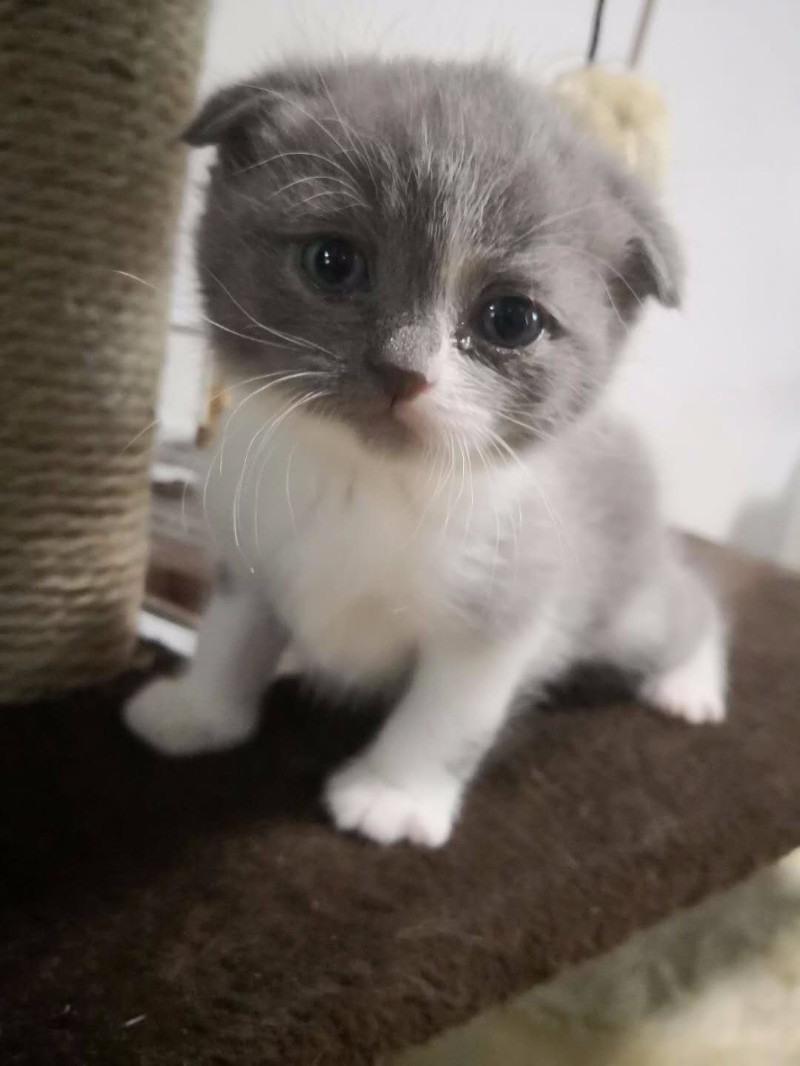 纯种英短 蓝白折耳MM,虎斑折耳DD 虎斑折耳MM找新家