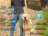 宠物店和狗市里的杜高犬可以买吗 健康的多少钱一只