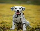 斑点狗多少钱 无锡哪里有卖斑点幼犬的