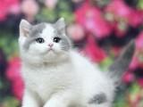 英短蓝白幼猫蓝猫矮脚折耳猫咪活物小猫宠物猫
