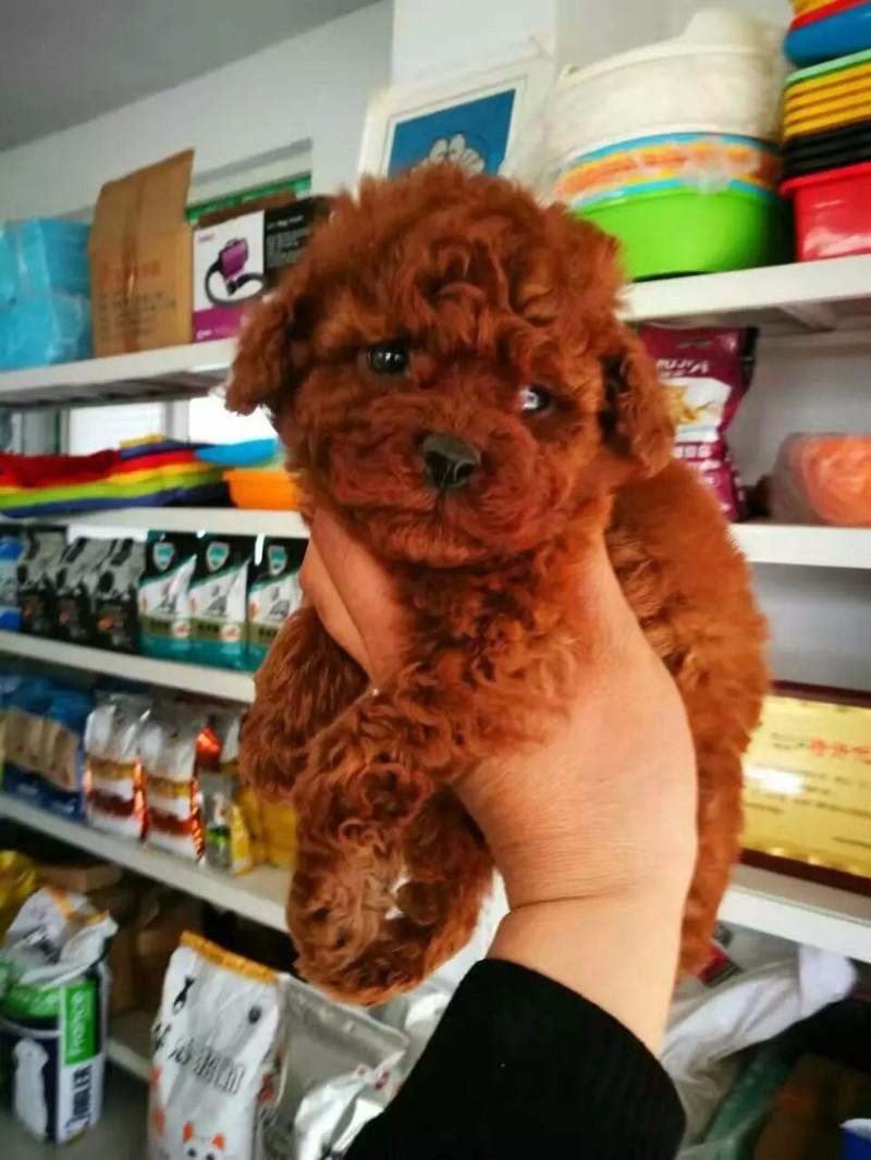 优质泰迪宝宝常年对外批发零售