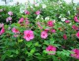 潍坊优质的大花秋葵提供商-大花秋葵哪里的成活率高