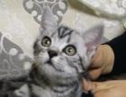 纯种美短 CFA猫舍