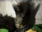 出售金花松鼠魔王松鼠非洲迷你刺猬垂耳兔熊猫兔等小宠物