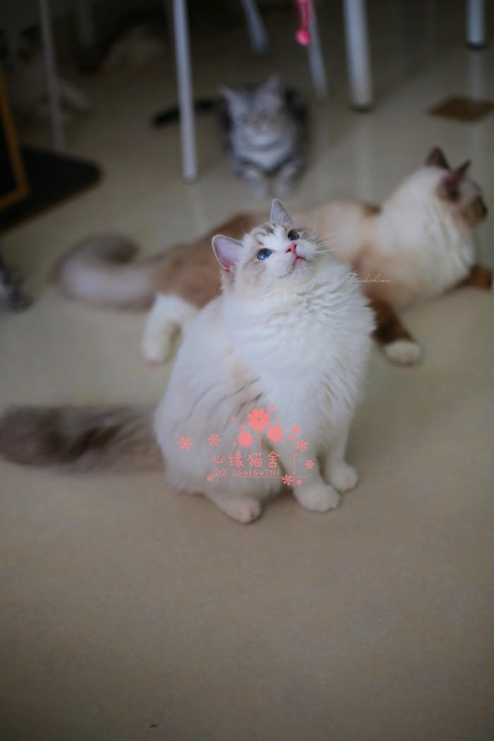 太原哪里的布偶猫较便宜多少钱一只 太原哪里有几百块钱布偶猫