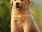 精品大头金毛幼犬签合同包纯种双血统