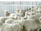 肉牛犊肉驴300头加盟 利木赞牛鲁西黄牛