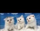 软萌英短小白猫