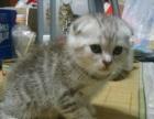 纯种家庭繁殖纯种猫蓝猫渐层折耳猫保证健康