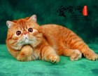 纯种加菲猫基地 上海爱宠网权威机构 多只挑选