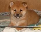 大型犬舍繁殖高品质柴犬健康有保证欢迎上门