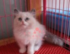 布偶猫潮州哪里有卖的 布偶猫价格 布偶猫多少钱