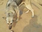 纯种狼青犬出售出售价格便宜质量好
