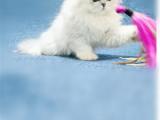 上海嘉定猫舍直销双血统金吉拉较低多少钱
