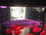 非常大的银龙鱼