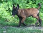 极品 马犬 在这里 优惠纯种和健康 CKU认证