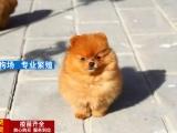 犬舍繁殖纯种哈多利圆球博美保纯种健康可送货刷卡