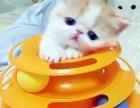 异国短毛猫 幼猫活体 纯种加菲猫 红小胖净梵纯白