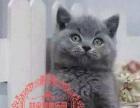 英短毛猫蓝猫 实物拍摄 两窝 公母都有 喜欢的来家