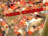 批发北京2019年锦鲤红鲫鱼 草鱼鲤鱼鲫鱼青鱼价格优惠
