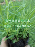 地被石竹培育基地,优质地被石竹批发价格