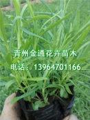 热销的地被石竹市场价格 社区绿化用地被石竹