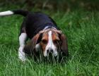 精品宠物繁殖基地长期出售比格幼犬 保证品质健康