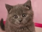 美国CFA猫舍双C蓝白英短蓝猫双血统双证