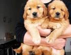 苏州哪里有免费领养宠物狗的地方 自家大狗生的一窝金毛犬赠送