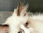 布偶猫海豹双色 公