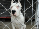 基地出售纯种杜高 杜高幼犬 赛级杜高犬欢迎上门看狗