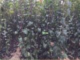 秋月梨树苗批发 基地培育果树苗直销 价格优惠秋月梨树苗